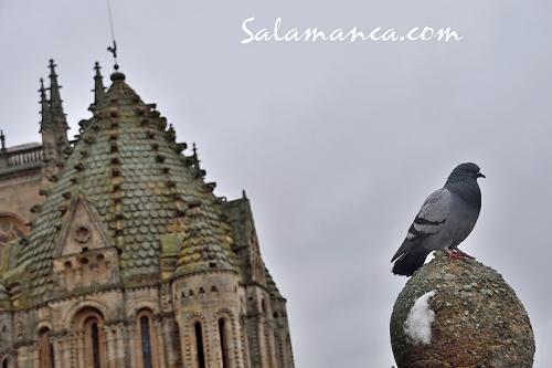 Salamanca, paloma y gallo