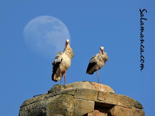 Cigüeñas... Anaya y en la luna de Salamanca